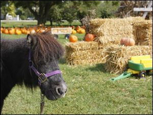 The Monclova farm offers hay rides, horse rides from Nugget, a miniature horse, apple products, and fresh eggs as well as pumpkins and gourds.