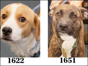 'Sky,' female boxer mix, 1651; 'Claire,' female beagle mix, 1622