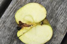 Three-major-insect-pests-of-apples