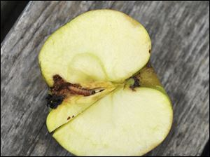 The three major insect pests of apples are apple maggot, plum curculio, and codling moth.
