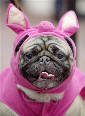 Hercules, a pug, dressed up like a pig waits to take the stage during the Halloween Pet Parade and Costume Contest in Coconut Grove, Fla.  Pet owners will dress up millions of dogs this month for Halloween parades, parties, pictures, contests or candy hunts.