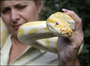 Cindy Huntsman displays Banana, an albino Burmese python, at her Stump Hill Farm in the Massillon area of northeast Ohio. Ownership of such snakes could be outlawed for many under a new proposal.