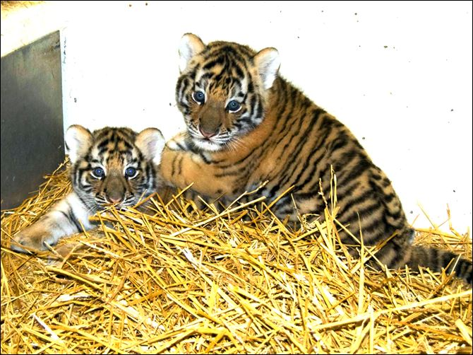 Tiger cubs given names reflecting Russian roots Viktor, left, and Talya, the Amur tiger cubs born two months ago, weighed 21 pounds and 18 pounds, respectively, at a recent checkup.