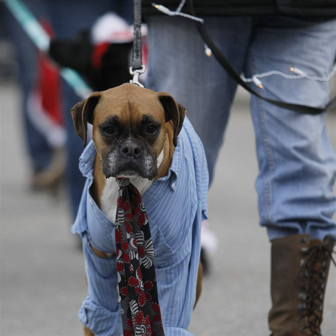 A-dog-marches-in-the-Holiday-Hounds-on-Parade