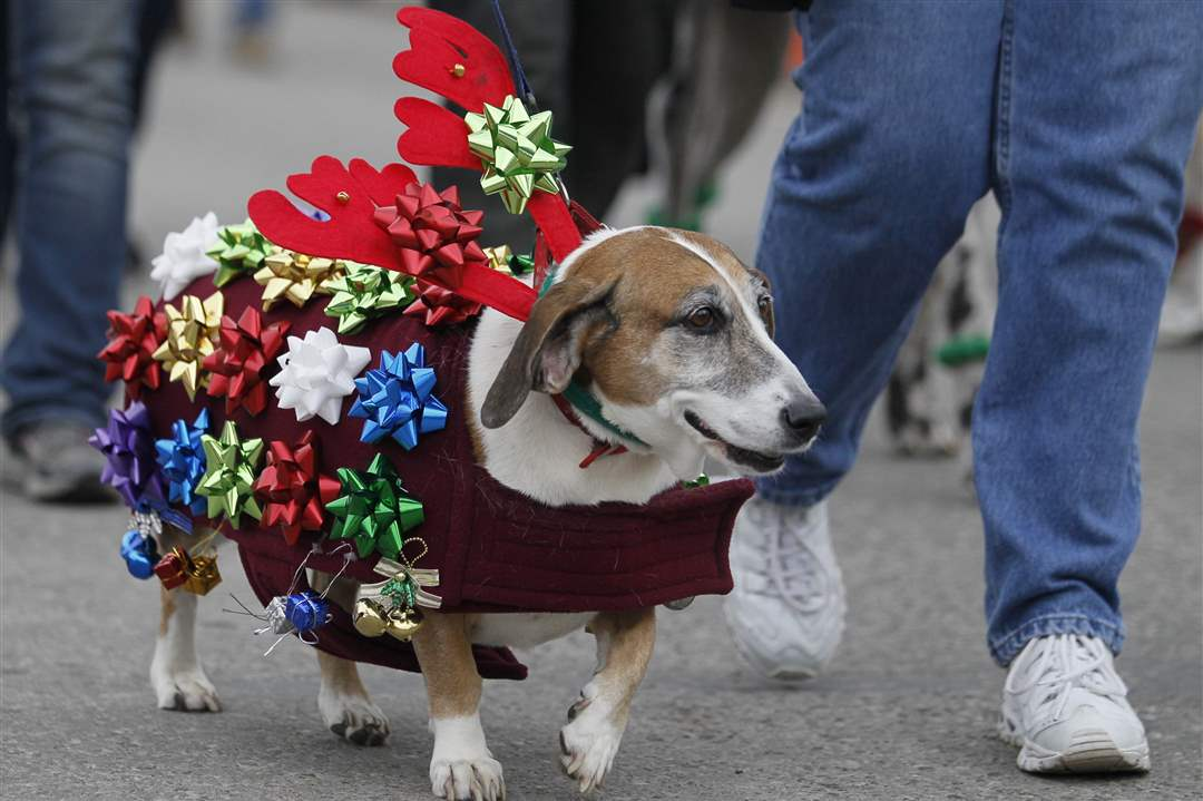 A-dog-marches-in-the-Holiday-Hounds-on-Parade-1