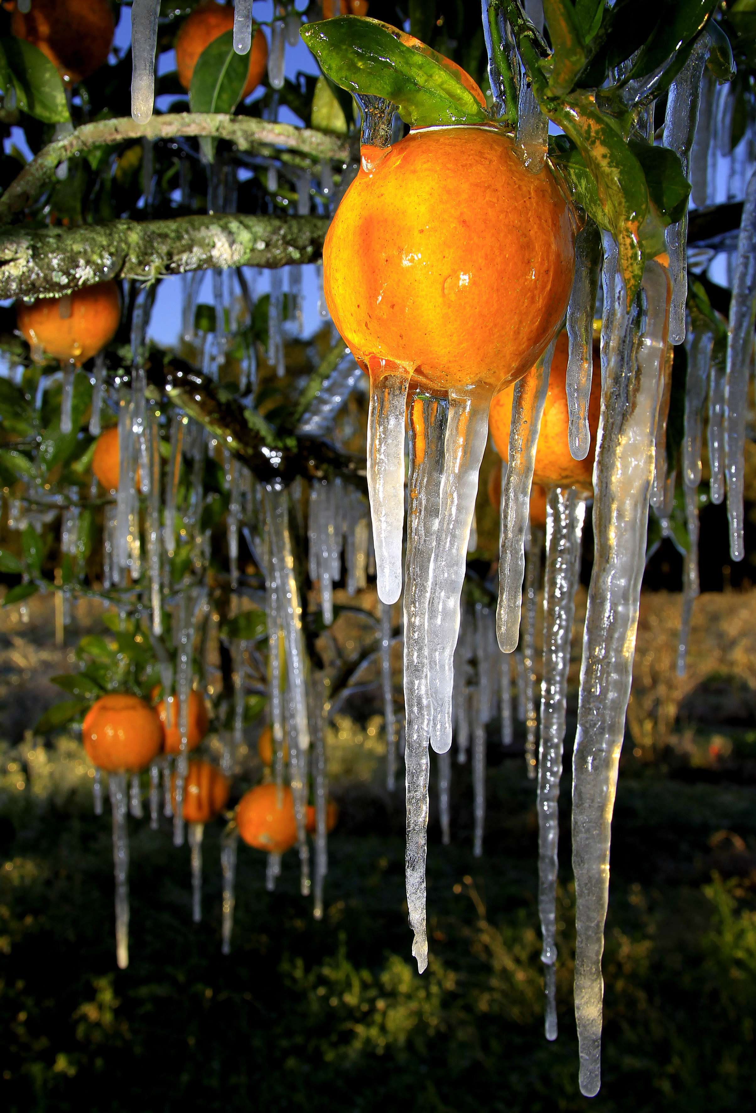 Florida Oranges On Ice The Blade