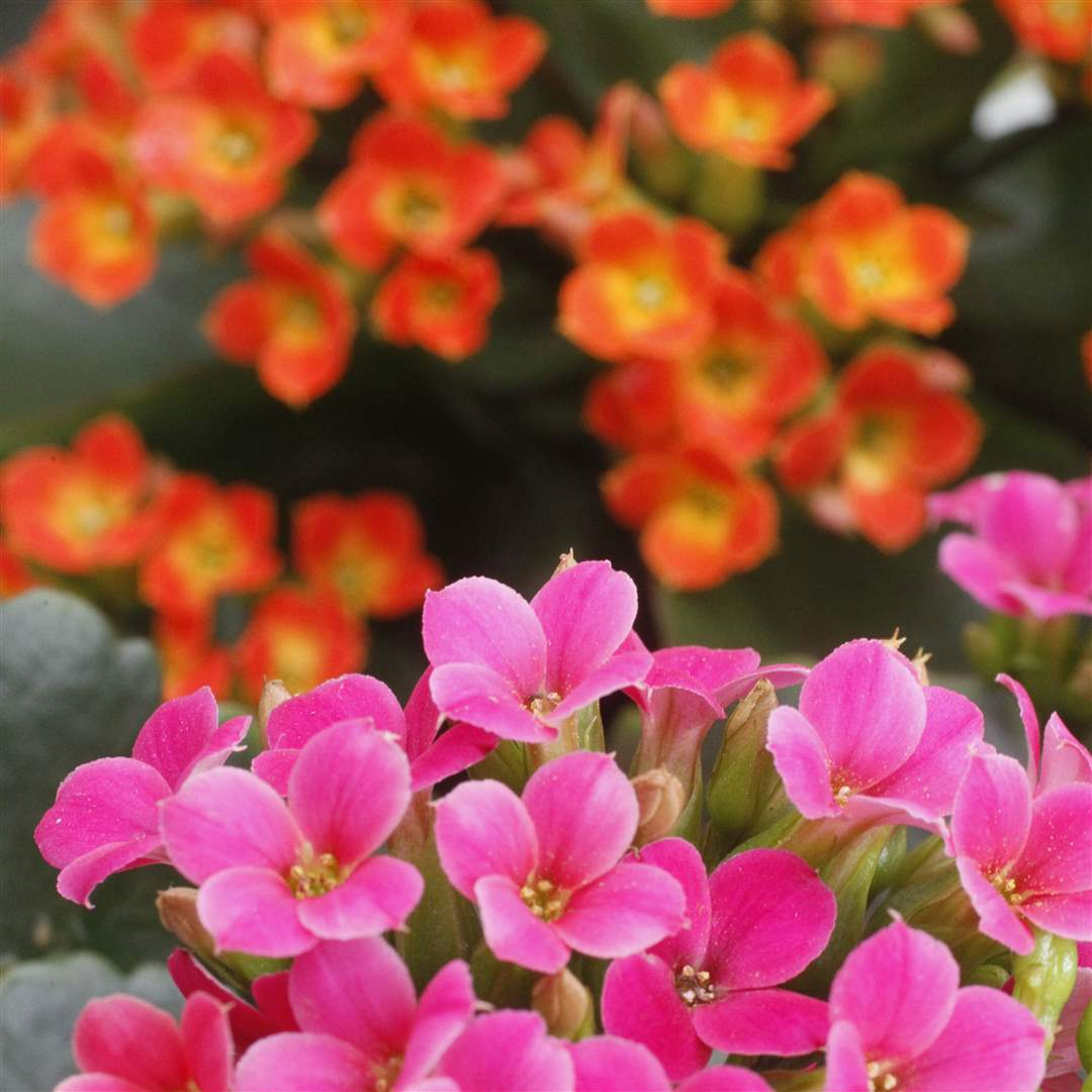 winter-blooms-9-kalanchoes