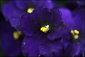 An African violet blooms at Hirzel Brothers Greenhouse in Toledo.