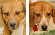 Lucas-County-Dogs-for-Adoption-1-21