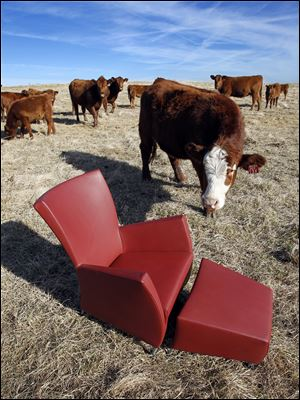 "Red Angus cows at Shoal Creek Land and Cattle in Excelsior Springs are curious about the Montis ""Windy"" Easy leather chair and ottoman."