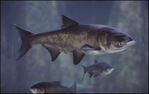 Asian bighead carp swim in an exhibit at Chicago's Shedd Aquarium. Asian carp are infesting Great Lakes waters.