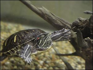 A red-eared slider is among the wildlife on display at the exhibit, which features a babbling stream.