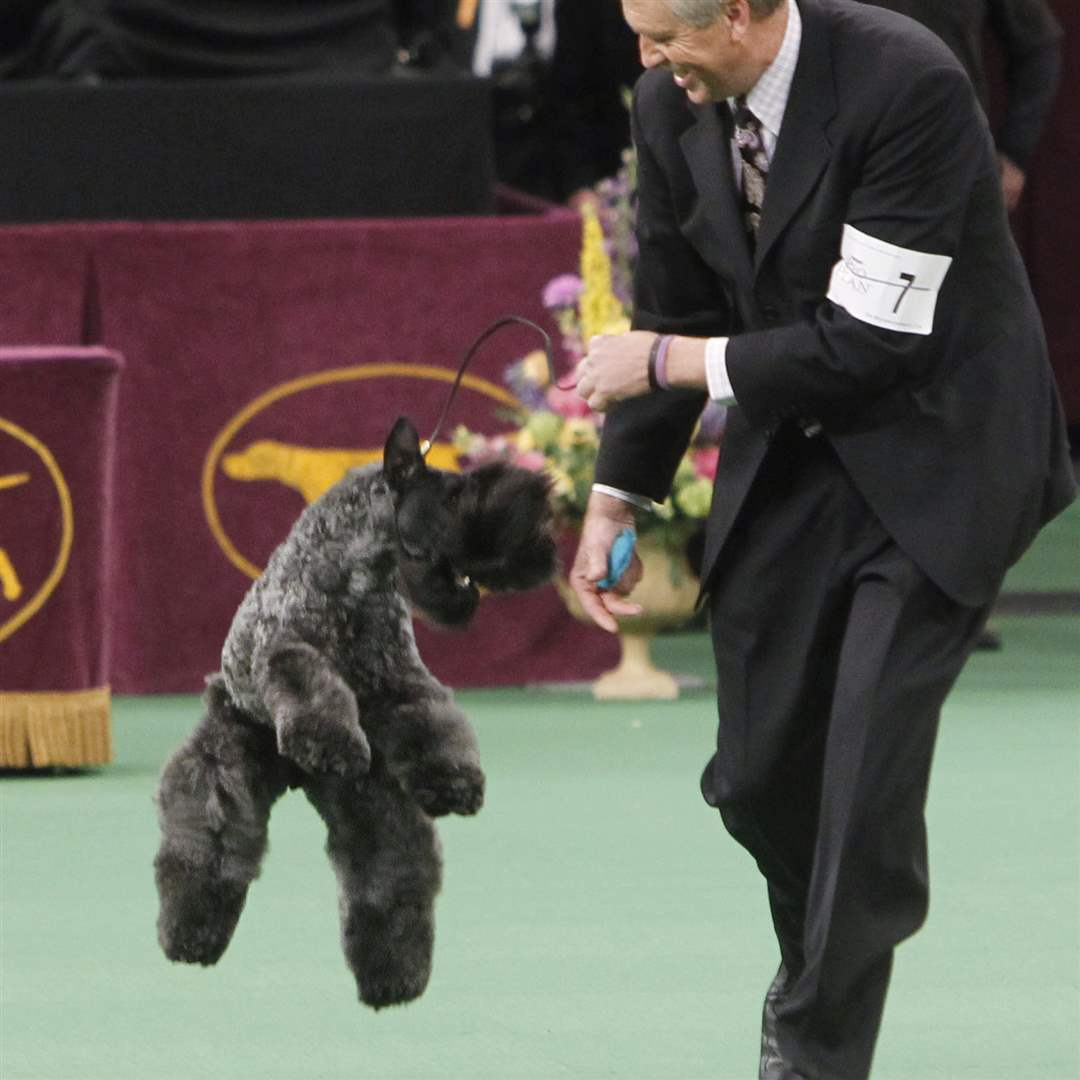 Chelsey-a-Kerry-blue-terrier-jkumps-after-being-named-winner-the-terrier-group