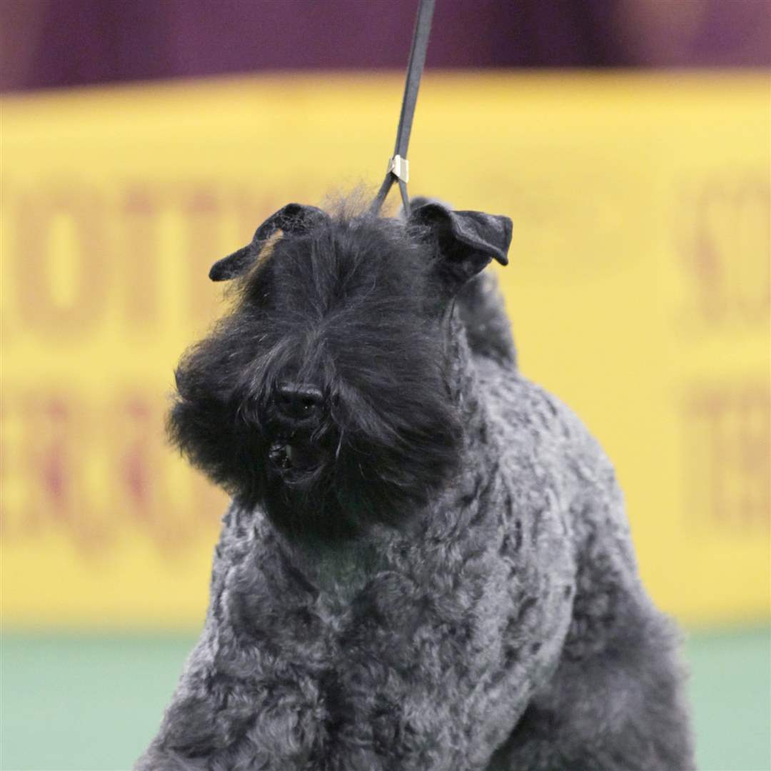 A-Kerry-blue-terrier-named-Chelsey-is-declared-winner-of-the-terrier-group