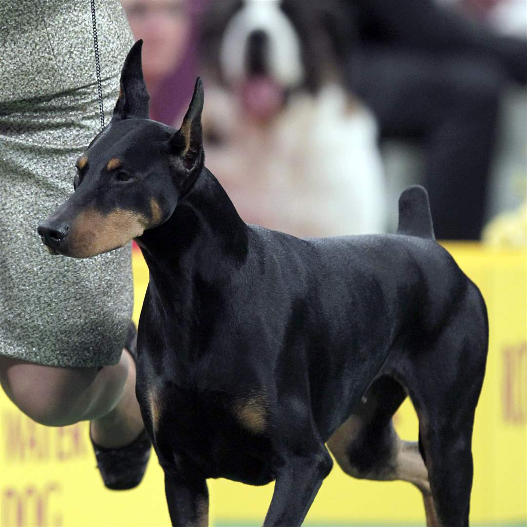 Protocol-s-Veni-Vidi-Vici-a-Doberman-pinscher-who-won-its-group