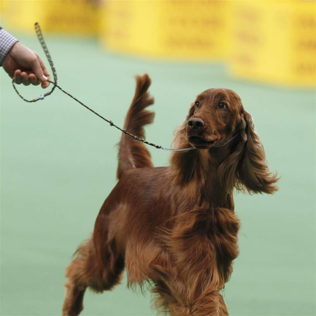 Shadagee-Caught-Red-Handed-an-Irish-setter