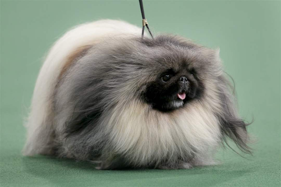 Malachy-a-Pekingese-won-best-in-show-at-the-136th-show