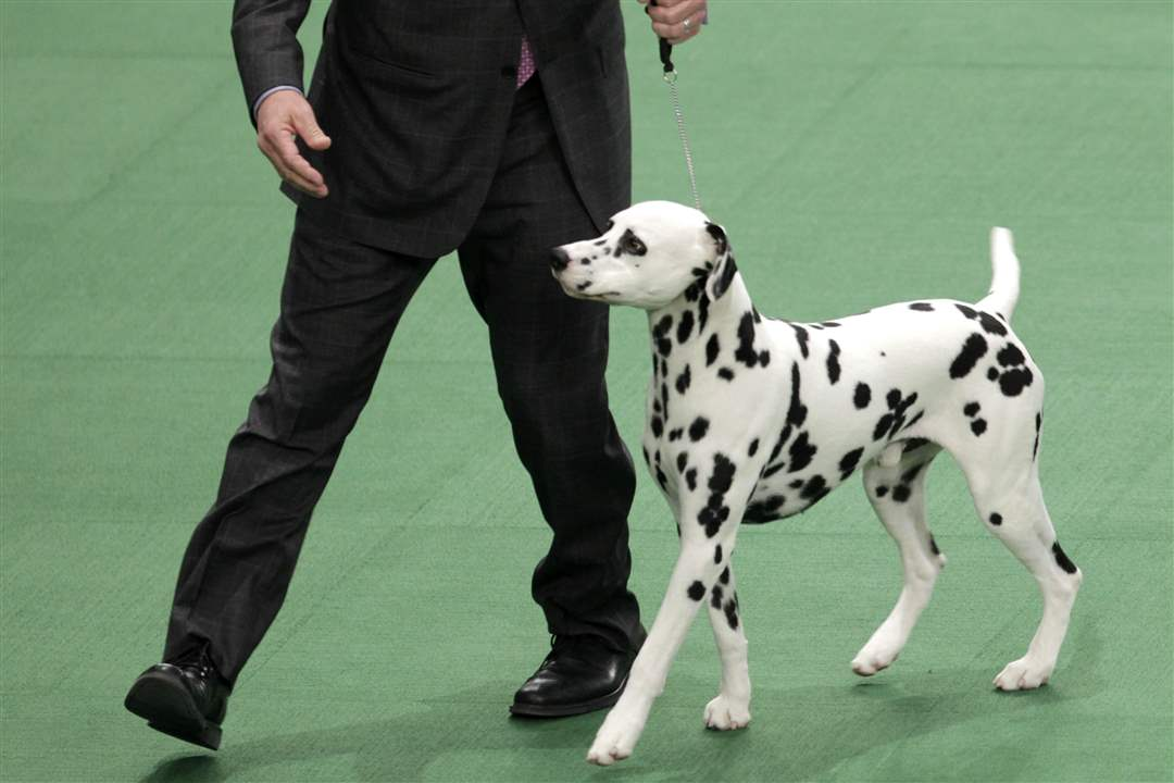 A-Dalmatian-named-Ian-with-his-handler-Michael-Scott-competes-in-the-non-sporting-group