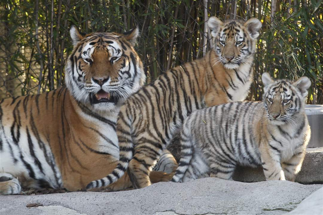 Toledo-Zoo-Amur-tiger-cubs-mother-1
