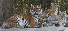 Toledo-Zoo-Amur-tiger-cubs-mother