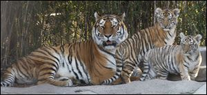 The Toledo Zoo has four Amur tigers with the addition of these two cubs born in September to mother Marta.