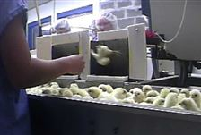 Food-and-Farm-Undercover-Video-chick-grinder