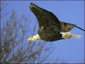 A bald eagle in Bellevue, Iowa, takes its catch and tucks it away for the flight to a nearby tree.