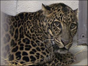 One of three leopards that were captured by authorities near Zanesville, Ohio, after their owner released dozens of wild animals and then killed himself.