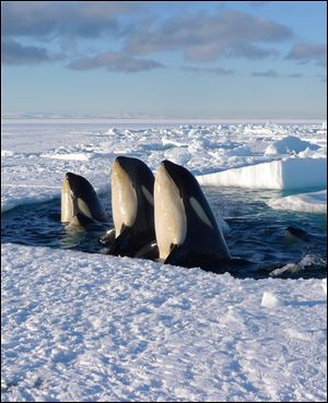 Orca whales visit the ice shelf in 'Frozen Planet.'