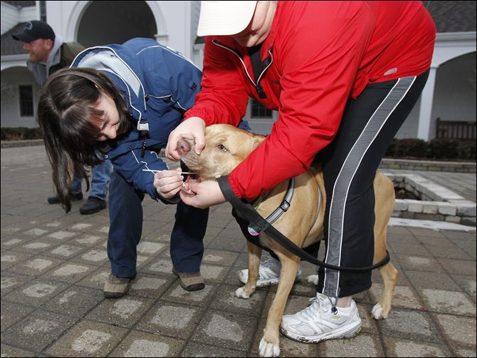 Jean Keating of the Lucas County Pit Crew Jean Keating of the Lucas County Pit Crew swabs the mouth of Lucas while his owner, Laurie Hughes of Rossford, holds him. Testing found no 'pit bull' in Lucas.