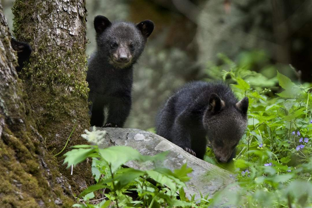 Smoky-Mountains-bear-cubs