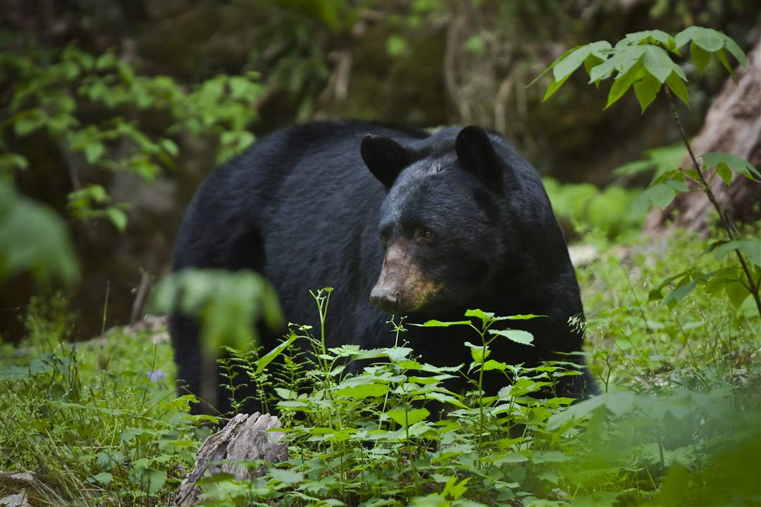 Smoky-Mountains-mama-bear