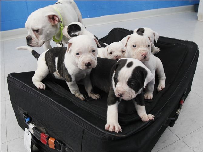 A litter of puppies and their mother A litter of puppies and their mother, now in the care of the Toledo Area Humane Society, were found abandoned last week. The pups were inside the suitcase.
