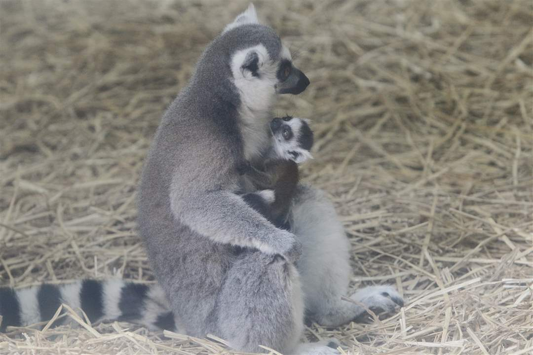 mother-and-baby-lemur