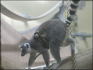 A baby lemur hangs on to the side of its mom.