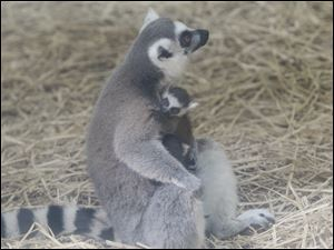 This baby lemur will be named once its gender is announced.