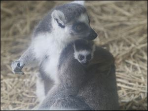 Mother and baby lemur.