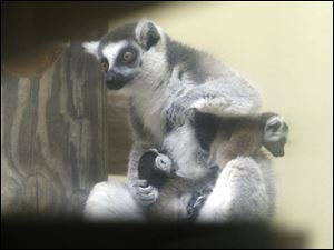Fresca holds her two baby lemurs on her chest.  Both the males and females grow to about 1.39 feet and 4.88 pounds .