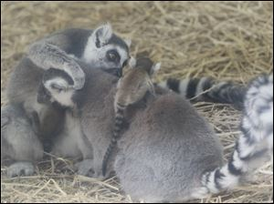Oliver, at left and facing right, and Fresca, facing left, with a baby lemur on her back.