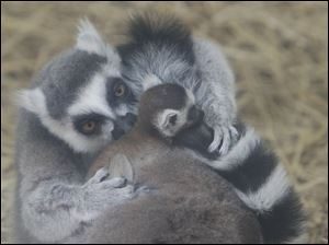 Daddy Oliver helps to preen one of the two babies that are on this lemur's back.
