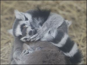 Oliver helps to preen one of the two babies that are on this lemur.