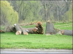 Trees were recently cut down in the southeast corner of Ottawa Park for upcoming sewer construction along Brancroft Street.
