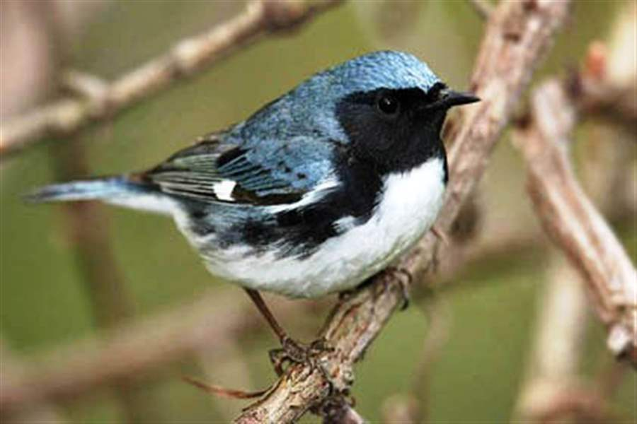 nbr-black-throated-blue-warbler