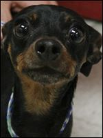'Wheezy,' male miniature pinscher, 608