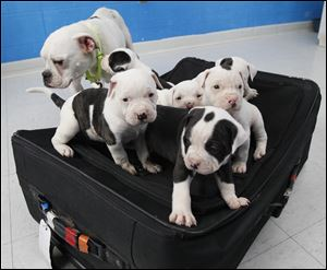 Toledo Humane Society will accept specially marked applications from 11 a.m. May 11 to 7 p.m. May 16 to adopt 'Suitcase Six.'