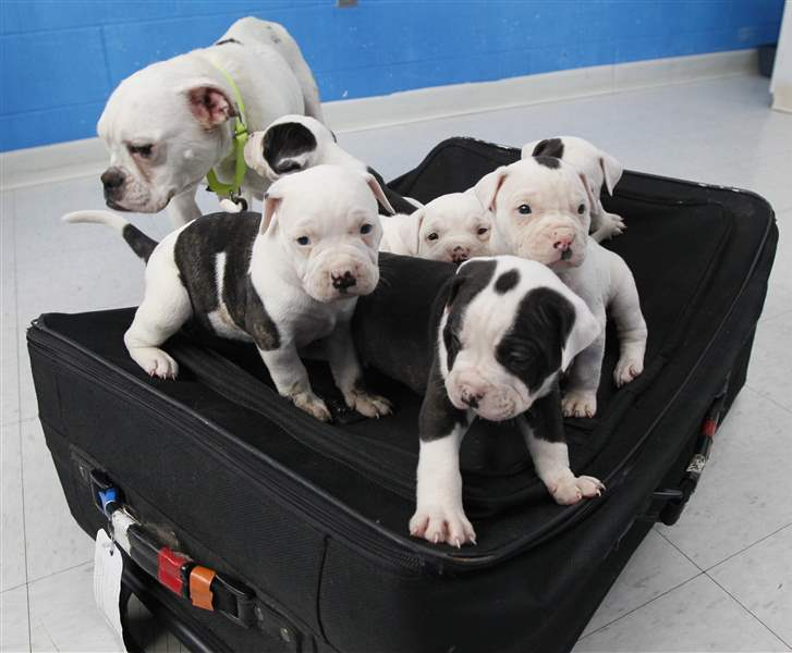 Adoption-procedures-for-Suitcase-6-pups-set