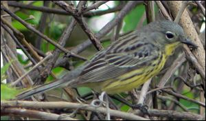Kirtland's warbler on Saturday at Ottawa National Wildlife Refuge.