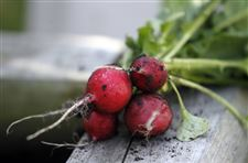 Freshly-picked-radishes