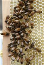 Bees-cause-buzz-at-storied-New-York-hotel