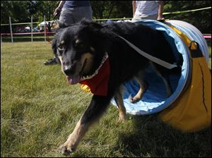 Coda exits the tunnel during the Toledo Kennel's agility course at the 9th annual MetroBarks Festival. Coda's owner is Sandy Pratt of Toledo.